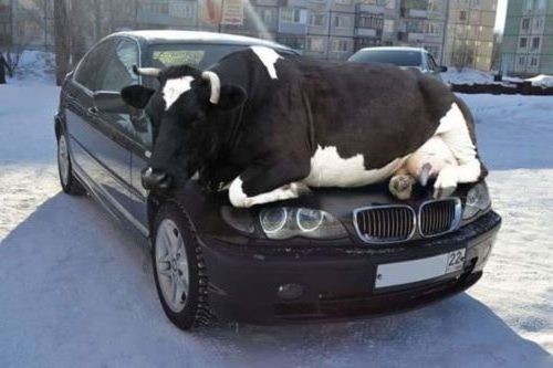 best place to rest for a cow
